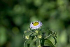 Foto av en tusensköna med en fluga ovanför den Fotografering för Bildbyråer