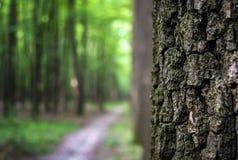 Foto av ett gammalt träd i en grön skog Royaltyfri Foto