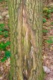 Foto av ett gammalt träd i en grön skog Royaltyfria Foton
