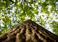 Foto av ett gammalt träd i en grön skog Arkivbild