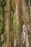 Foto av ett gammalt träd i en grön skog Arkivfoto