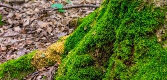 Foto av ett gammalt träd med mossa i en grön skog Arkivbild