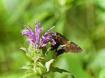 Foto av ett härligt fjärilssammanträde på blommor Fotografering för Bildbyråer
