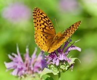 Foto av ett härligt fjärilssammanträde på blommor Royaltyfria Foton