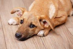 Foto av ett husdjur Hund hemma Arkivfoton
