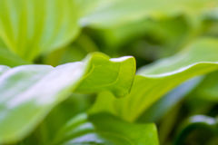 Foto av ett stort grönt blad i trädgården Arkivbild