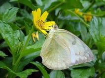 Foto av fjärilen med blomman Arkivfoto