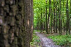 Foto av gamla träd i en grön skog Arkivfoto