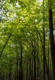 Foto av gamla träd i en grön skog Royaltyfri Bild