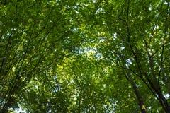 Foto av gamla träd i en grön skog Royaltyfri Foto