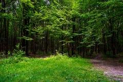 Foto av gamla träd med gräsmatta i en grön skog Royaltyfri Bild