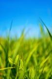 Foto av grönt gräs på sommardagen på en bakgrund för blå himmel Royaltyfri Foto