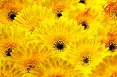Foto av gula och orange gerberas, makrofotografi och blommabakgrund Arkivfoto