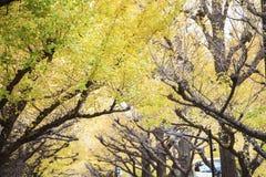 Foto av guld- Autumn Ginkgo Biloba Tree Leaves i höst Fotografering för Bildbyråer