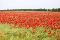 Foto av härliga röda vallmo Royaltyfria Foton