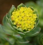 Foto av härliga växter med köttlika sidor som döljer knoppgulingen, blommar Arkivbild