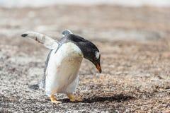 Foto av lite den Gentoo pingvinet. Fotografering för Bildbyråer