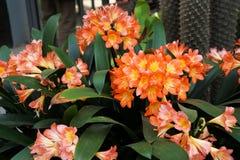 Foto av ljust orange tropiska blommor i en kruka arkivbilder