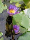 Foto av lotusblomma Arkivbilder