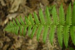 foto av ormbunken i en naturlig miljö Arkivbilder
