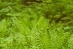 foto av ormbunken i en naturlig miljö Arkivbild