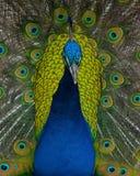 Foto av påfågeln som fullständigt fläktar fjädrar royaltyfria bilder