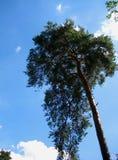 Foto av sörjaträdet av ovanlig form på en bakgrund för blå himmel Fotografering för Bildbyråer