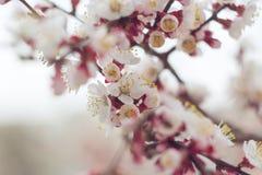 Foto av stammen f?r k?rsb?rsr?d blomning f?r aprikos f?r v?r den mjuka Utvalt fokusera arkivbilder