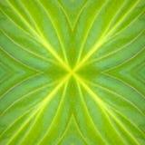 Foto av texturer av stora gröna blad i trädgården Arkivfoto
