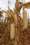 Foto av torra majs-majskolvar i ettfält fotografering för bildbyråer