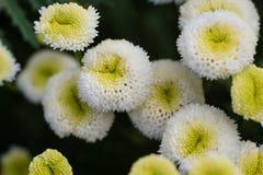 Foto av trädgårds- blommor Arkivbild