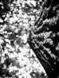 Foto av treetopen av ett gammalt träd i en svartvit grön skog Fotografering för Bildbyråer