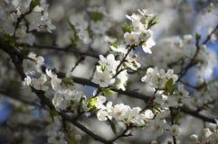 Foto av vårblomningträdet royaltyfri bild
