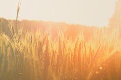 Foto av vetefältet på soluppgångsolbristningen Royaltyfria Bilder