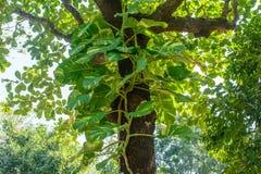 Foto av vinrankor för guld- pothos på trädet royaltyfria foton