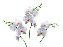 Foto av vita orkidér på en filial Arkivbilder