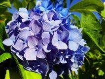 Foto azul de la macro de la flor de la hortensia foto de archivo