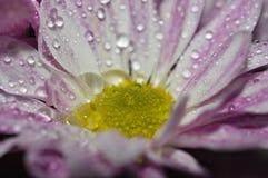 Foto bianca e di rosa del crisantemo o della mummia macro fotografia stock libera da diritti