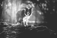 Foto in bianco e nero del confine Collie Standing in Forest Art Moody Version Fotografia Stock Libera da Diritti