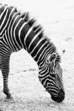 Foto in bianco e nero della zebra Immagine Stock