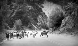 Foto in bianco e nero delle capre Immagini Stock