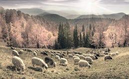 Foto in bianco e nero delle pecore Fotografia Stock