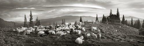 Foto in bianco e nero delle pecore Immagini Stock