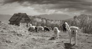 Foto in bianco e nero delle pecore Immagine Stock
