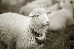 Foto in bianco e nero delle pecore Immagini Stock Libere da Diritti
