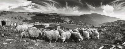 Foto in bianco e nero delle pecore Fotografie Stock