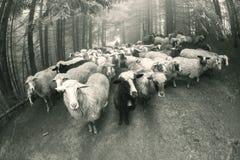 Foto in bianco e nero delle pecore Fotografie Stock Libere da Diritti