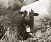 Foto in bianco e nero delle pecore Fotografia Stock Libera da Diritti
