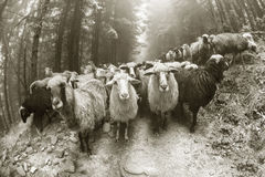Foto in bianco e nero delle pecore Immagine Stock Libera da Diritti