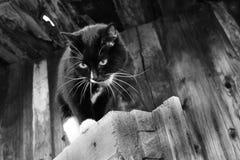 Foto in bianco e nero di Pechino, Cina Gatto in bianco e nero sul vecchio fondo di legno della parete Fotografie Stock Libere da Diritti